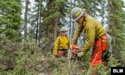 Members of a firefighting crew clear brush to create a fire break on the 2019 Hadweenzic River Fire in Alaska. (BLM photo)