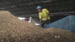 Thai Rice Farmers Struggle with Dropping Prices