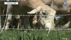 Çim Biçme Makinelerinin Yerini Koyunlar mı Alacak?