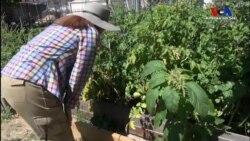 Los Angeles'da Kent İçinde Sebze Meyve Yetiştirmek İsteyenlerin Zaferi