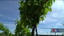 У США винороб почав вирощувати «Сапераві». Відео
