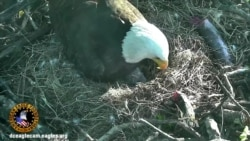 Baby Eagles Get Their Names