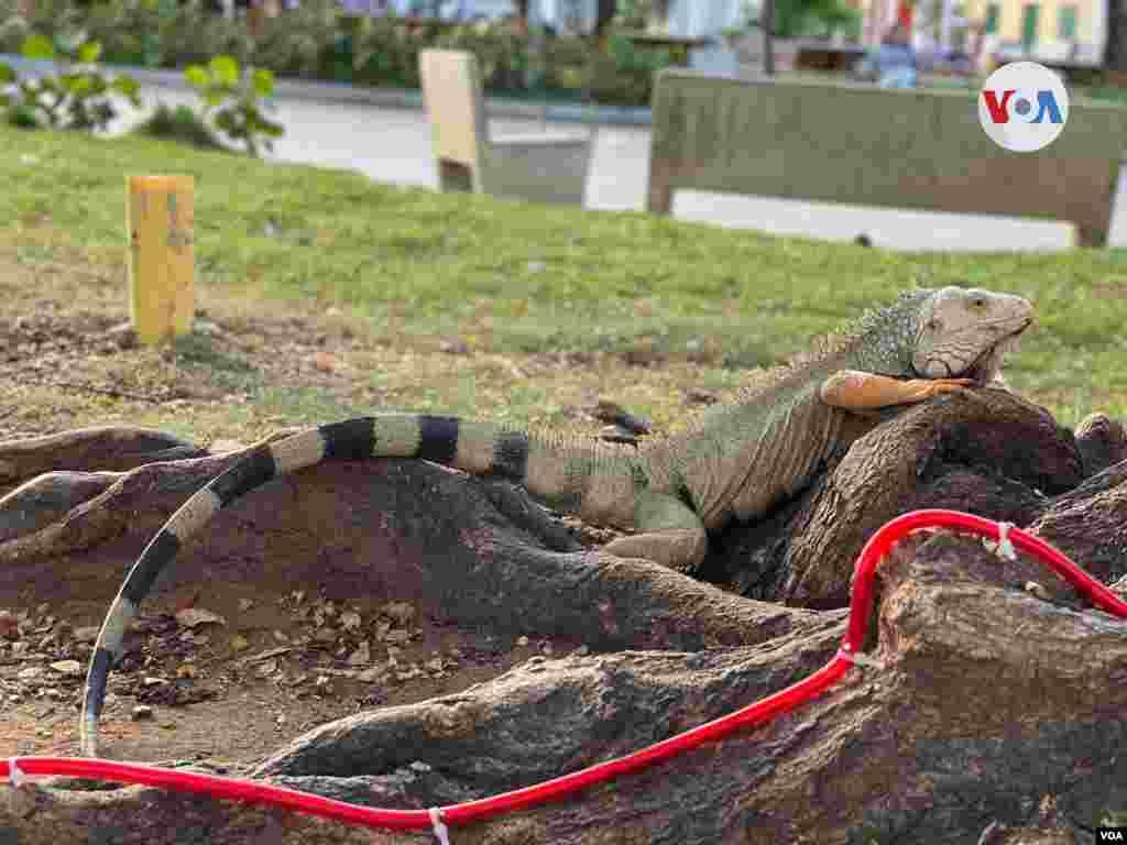 Un grupo de iguanas forman parte de unos de los grandes atractivos de la Plaza Parque del Centenario, en Ciénaga.