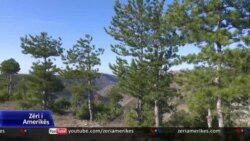 Dëmtimi masiv i pyjeve të pishës në Shqipëri