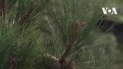 Из маленького семени в огромное дерево: как выращивают лес в Небраске