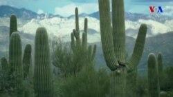 Amerikanın məhşur Saquaro kaktusları