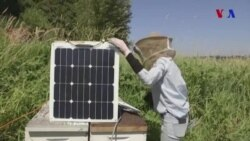 Alimlər arıların problemlərini müəyyən etmək üçün onların səslərini dinləyir