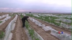 Palestinian Farmers in Jordan Valley Face Disastrous Growing Season