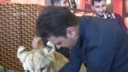 Nuôi sư tử làm thú cưng ở Iraq