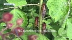 Çikolata Kaplı Ağustosböceği Yer miydiniz?