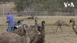 Trứng đà điểu trở nên thịnh hành ở Úc