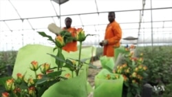 Kenya's Flower Producers Eye US Market