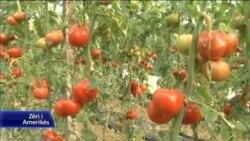 Berat, kultivimi i domateve në rritje
