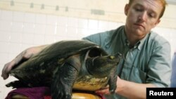 FILE - Wildlife Conservation Society Field Veterinarian Martin Gilbert from Britain holds an extremely rare Cambodian 'royal' turtle at his house in Phnom Penh on July 21, 2005.