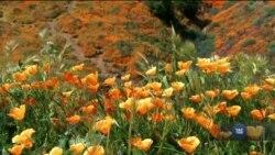 Маковий бум у Каліфорнії: цвітуть гектари диких квітів. Відео