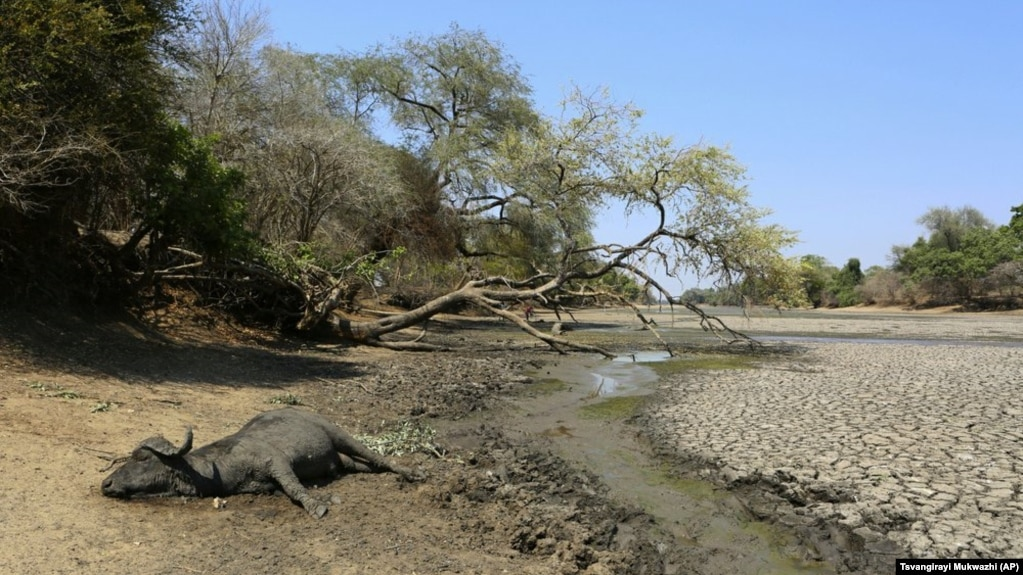 In this Oct, 27, 2019, photo, the carcass of a buffalo lies on the edges of a sun baked pool that used to be a perennial water supply in Mana Pools National Park, Zimbabwe.