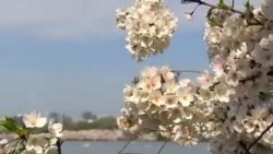 Gilos gullaganda... Vashington - Cherry blossom in Washington