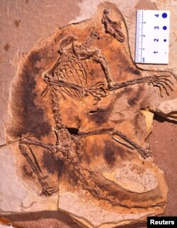 A fossil of a gliding mammaliaform Maiopatagium furculiferum is shown in this undated handout photo from the Beijing Museum of Natural History.