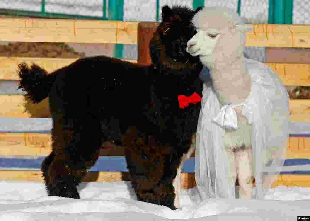 Young alpacas, Romeo (L) and female Juliette, walk inside their open air enclosure as employees congratulate coupled animals on Valentine's Day at the Roev Ruchey Zoo in Krasnoyarsk, Russia.