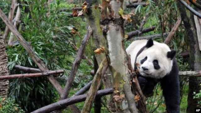 A panda plays in Panda Valley natural reserve in Dujiangyan city, in southwestern China's Sichuan province, January 11, 2012.