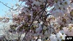 Başkent Washington'da Kirazlar Çiçek Açtı