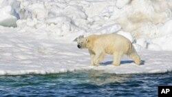 미국 알래스카주 추크치 해에서북극곰이 보인다. (자료사진)