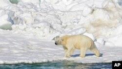 قطبي خرس