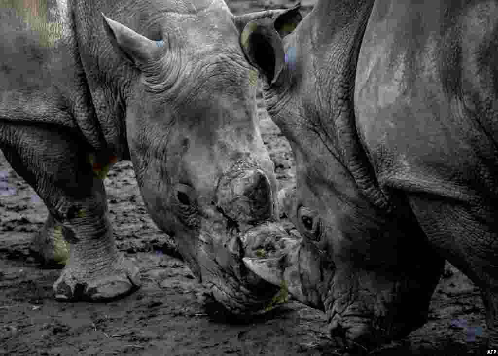 Two white rhinoceros look at each other in their enclosure at the zoo park of Lille, northern France.