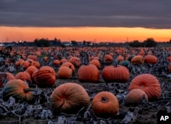 Hundreds of pumpkins lie on a field, or pumpkin patch, near Frankfurt, Germany, after sunset on Wednesday, Oct. 16, 2019.