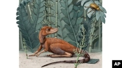 This illustration provided by Alex Boersma in July 2020 depicts a Kongonaphon kely, a tiny relative of dinosaurs and pterosaurs. Kongonaphon lived roughly 237 million years ago and would have stood only 10 centimeters (4 inches) tall. (Alex Boersma via AP)