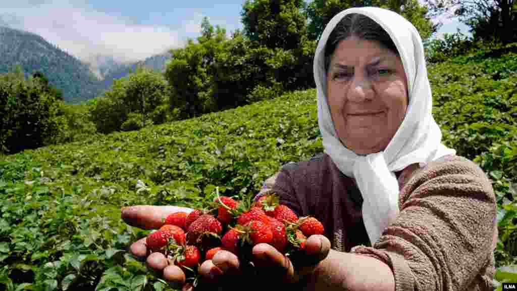 برداشت توت فرنگی در روستای سی دشت رودبار گیلان. عکس: ابوذر حمیدی، ایلنا