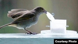 FILE - A bullfinch is seen opening a container. (Louis Lefebvre)