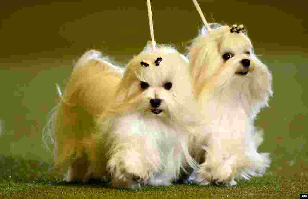 "Maltese dogs are presented during a dog show at the ""Hund & Katz"" pets fair in Dortmund, western Germany."