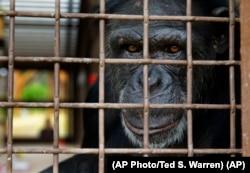 Jamie, a chimp who lives at Chimpanzee Sanctuary Northwest near Cle Elum, Wash., looks through a window of an enclosure.