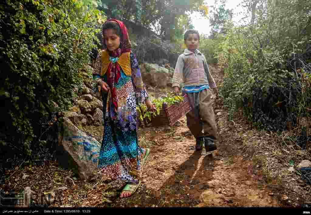 برداشت انار از روستاهای اورامانات استان کردستان ایران. عکس: مصلح پیر خضرانیان