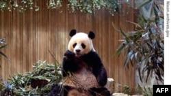 Loại gấu trúc khổng lồ là một chủng loại đang bị đe dọa tuyệt chủng, chỉ còn 1.600 con sống trong hoang dã tại Trung Quốc, và khoảng 280 con trong các sở thú
