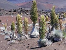 The Hawaiian silversword has developed over millions of years. It is found in no other place in the world