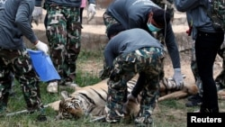 Officials prepare to move a sedated tiger from Thailand's controversial Tiger Temple, a popular tourist destination which has come under fire in recent years over the welfare of its big cats, Kanchanaburi province, west of Bangkok, Thailand, May 30, 2016.