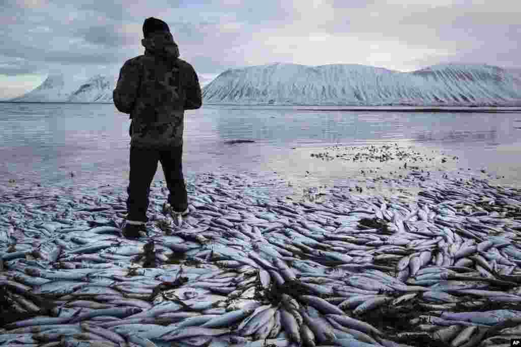Ikan herring bernilai ekspor miliaran dolar terlihat mengambang mati untuk kedua kalinya dalam dua bulan, di Kolgrafafjordur, sebuah tebing curam di bagian utara semenanjung Snaefellsnes, bagian barat Islandia.