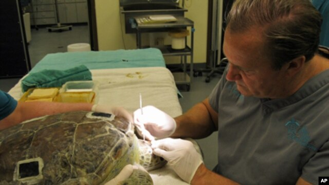 Ziva, a female loggerhead turtle being treated by veterinarian Terry Norton, was injured after being hit by a boat.