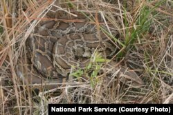 The introduction of the Burmese python in and around the Big Cypress National Preserve has been devastating to many native animals. There are an estimated 30,000 pythons in south Florida.