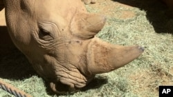 This photo shows Victoria, a pregnant southern white rhino on May 17, 2018, at the San Diego Zoo Safari Park in Escondido, California.