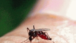 Mosquito que transmite a dengue transmite o Catolotolo