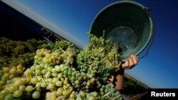 Un empleado de la viña M. R. Mathias Wolf cosecha uvas en Loerzweiler, Alemania, el 6 de agosto de 2018. REUTERS / Ralph Orlowski -