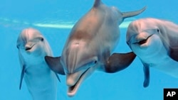 File - Dolphins are seen at the Brookfield Zoo in Brookfield, Ill. (AP Photo/Chicago Zoological Society, Jim Schulz)