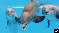 Three bottlenose dolphins are seen at the Brookfield Zoo in Brookfield, Ill., May 14, 2013. Researchers say dolphins can call to each other by name through whistling. (Chicago Zoological Society)