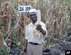 FILE - Farmer Bamusi Stambuli from Balaka, Malawi, shows off a healthy ear of maize, a staple crop for more than 900 million people worldwide.