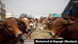 Sapi jantan dipajang di pasar ternak tempat orang membeli hewan kurban menjelang perayaan Iduladha di Sanaa, Yaman, 8 Agustus 2019. Seorang perempuan Pakistan menjual hewan kurban secara daring di tengah pandemi. (Foto: REUTERS/Mohamed al-Sayagh)