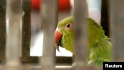 FILE - A pet parrot looks out from its cage at a temple in northern India, June 10, 2006. A new study shows parrots and crows have cognitive abilities similar to those of primates.