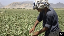 An Afghan man collects resin from poppies in an opium poppy field in Panjwai district of Kandahar province, Afghanistan, May 21, 200
